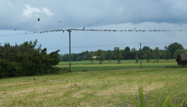 Fåglar trängs på elnätsledning